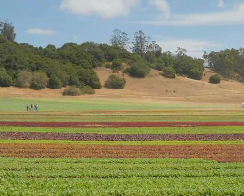 Fields of leafy greens