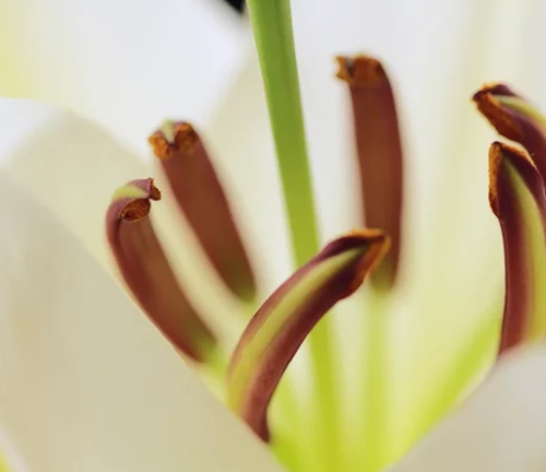 Close-up of lily